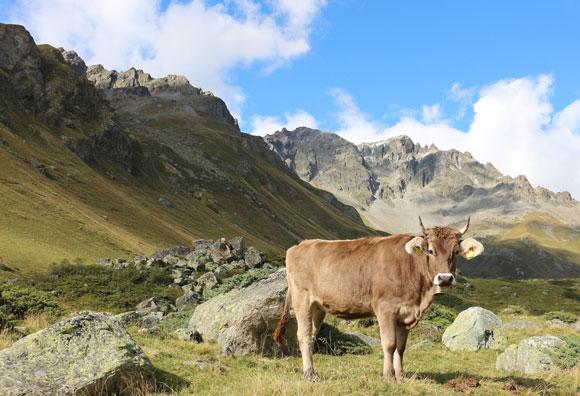 ההשפעה הסביבתית של החקלאות החלה כבר בשחר ההיסטוריה. פרה במרעה באלפים האיטלקים | צילום: Andrea Kay