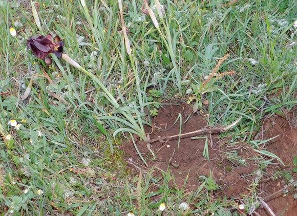 המקום ממנו נגנב פרח איריס הארגמן (Iris atropurpurea), אחד מהצמחים המוגנים הנדירים והמזוהים ביותר | איגור ארמיאץ' שטיינפרס