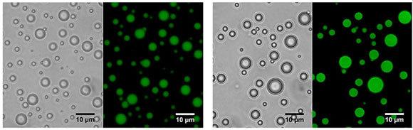 החלבונים, שאולי מייצגים את האנזימים הקדומים, קושרים לא רק ATP אלא גם RNA ו-DNA חד גדילי, ומסוגלים להרכבה עצמית וליצירת מדורים נבדלים. תמונת מיקרוסקופ פלואורסצנטי של טיפות הנוזל הנוצרות בנוכחות החלבונים הקצרים | מכון ויצמן למדע