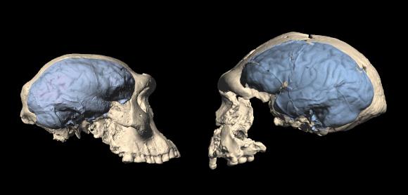 גולגולת ומוח של הומו ארקטוס מאינדונזיה (ימין) ושל הומו ארקטוס קצת יותר קדום מגאורגיה | צילום: M. Ponce de León and Ch. Zollikofer, University of Zurich